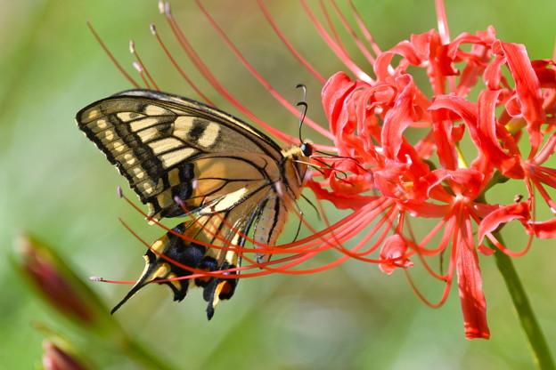 曼珠沙華-蝶と2