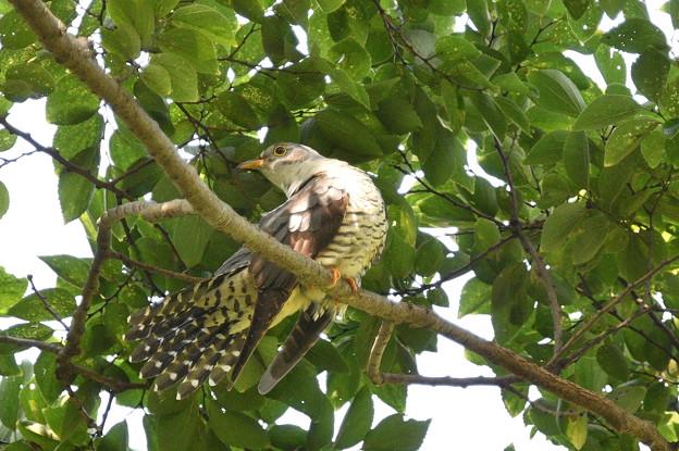 ツツドリ-尾羽の手入れ