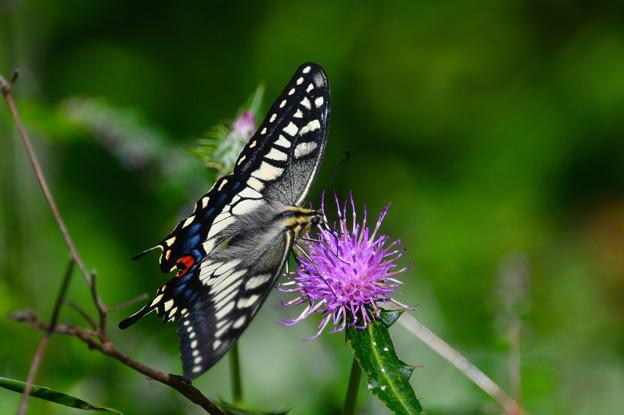 キアゲハ-花と