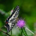 Photos: キアゲハ-花と
