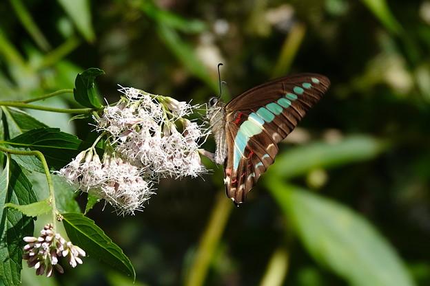アオスジアゲハ-花と