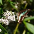 Photos: アオスジアゲハ-花と