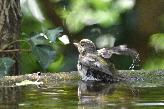キビタキ雄幼鳥-水場で
