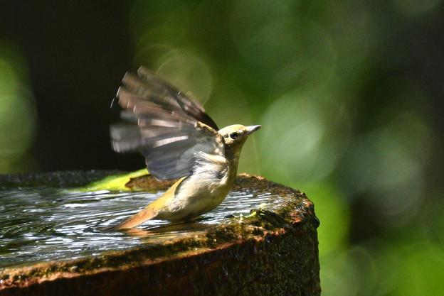 キビタキ雌成鳥-水場にて