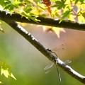 糸蜻蛉が・・・
