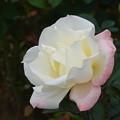 Photos: 薔薇-ホワイト・ベリー