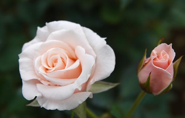 薔薇-マジョリカ