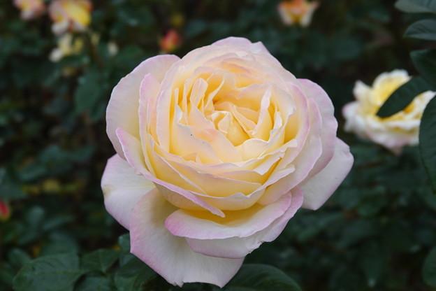 薔薇-ピース