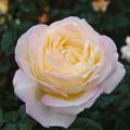 Photos: 薔薇-ピース