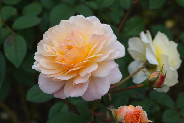 薔薇-ムーンスプライト