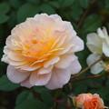 Photos: 薔薇-ムーンスプライト