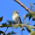 マヒワ-幼鳥
