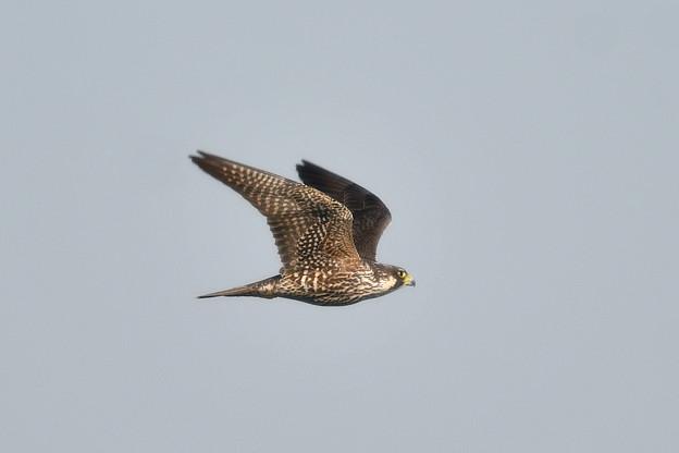 ハヤブサ-近くを飛翔-1