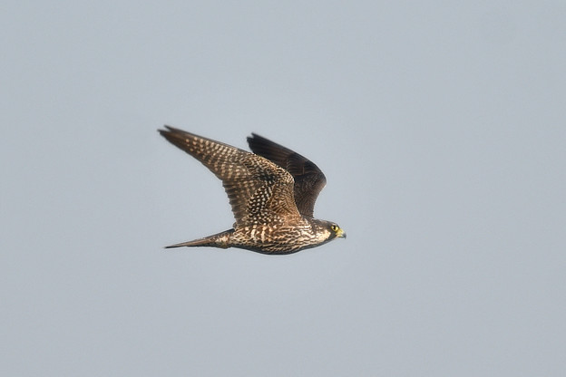 Photos: ハヤブサ-近くを飛翔-1