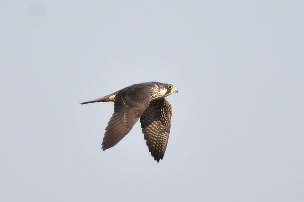 ハヤブサ-近くを飛翔-2