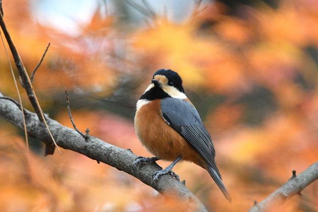 ヤマガラ-初冬の林で