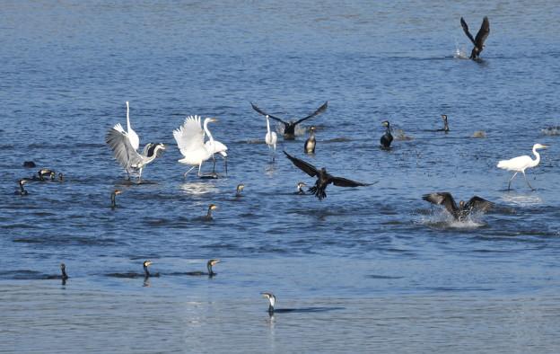 鵜や鷺の採餌-1