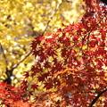 紅葉-赤と黄-1