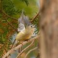 キクイタダキ-高い枝に-2
