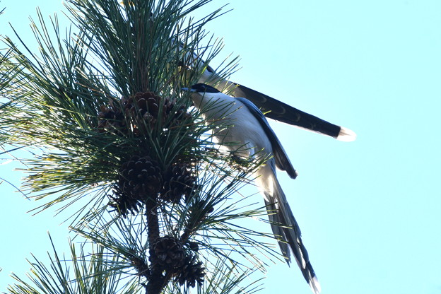 Photos: オナガ-いつもの鳥さん