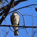 ツミ-いつもの鳥さん