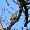 アオゲラ- いつもの鳥さん