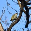 Photos: アオゲラ- いつもの鳥さん