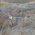 Photos: 葦原を飛ぶコミミズク-1