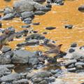 Photos: レンジャク-夕方近くの河原で-2