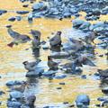 Photos: レンジャク-夕方近くの河原で-1
