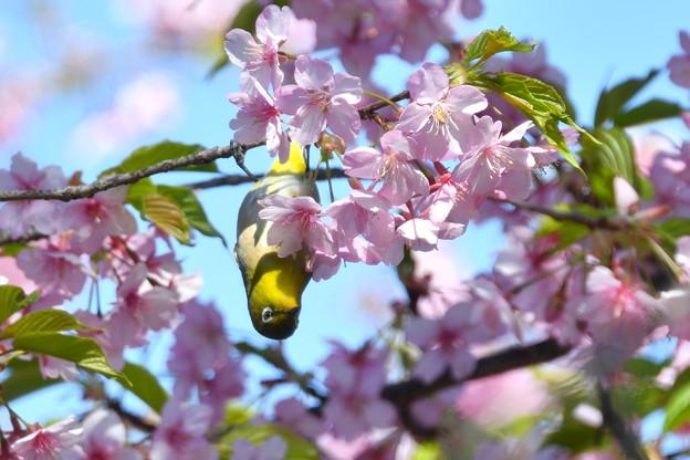 河津桜にメジロ-1