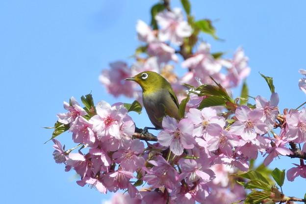 河津桜にメジロ-2