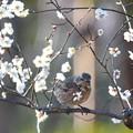 ハチジョウツグミ-白梅に