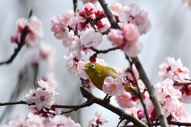 杏にメジロ-1