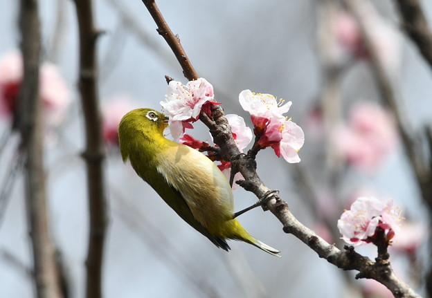杏にメジロ-2