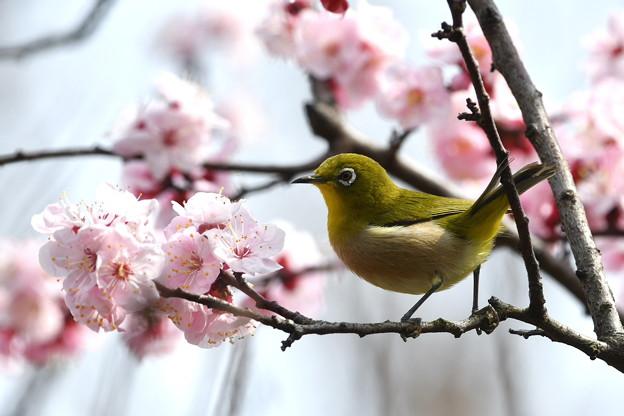 杏にメジロ-3