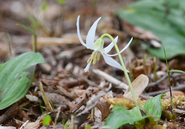 カタクリ - 白花