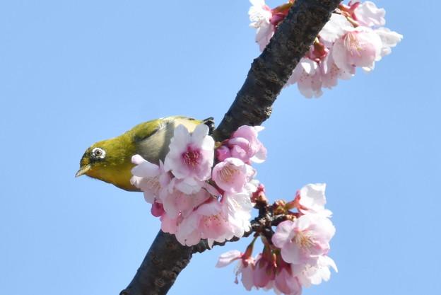 メジロ-安行桜に