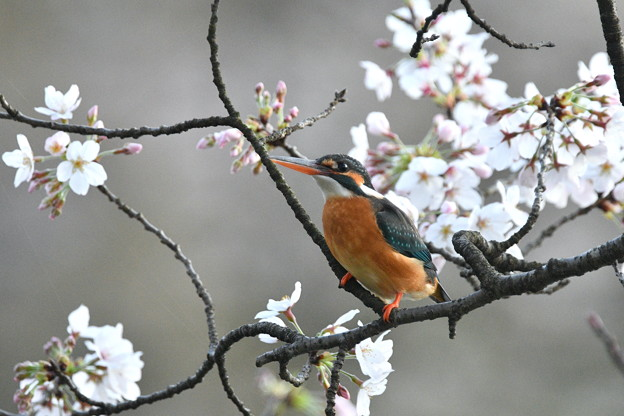 カワセミ嬢-桜に-1