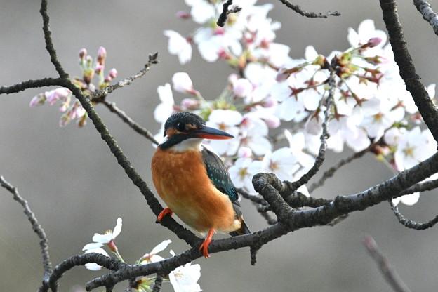 カワセミ嬢-桜に-2
