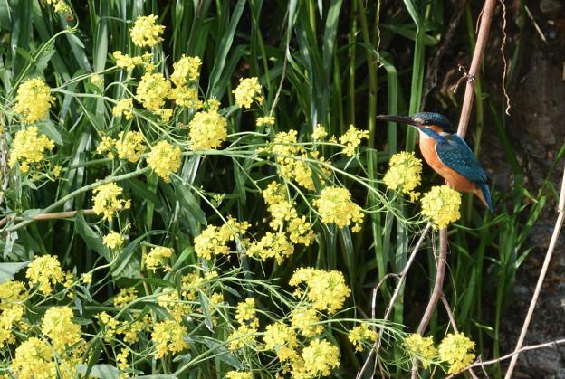 カワセミ君-菜の花と-1