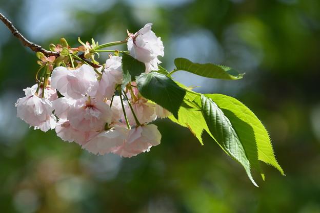 八重桜-枝先-1
