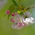 八重桜-枝先-2