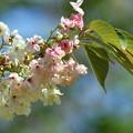 鬱金桜-二色