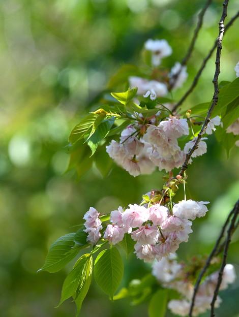 八重桜-枝先-3