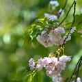 八重桜-枝垂-4348