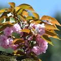 八重桜-胴咲