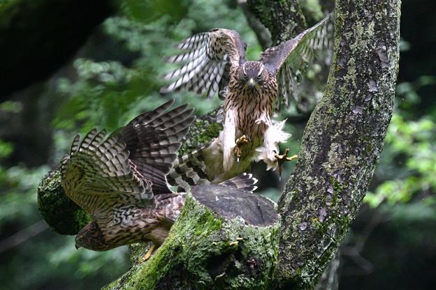 オオタカ幼鳥-入れ替わり-2