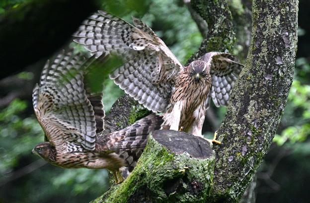 オオタカ幼鳥-入れ替わり-3