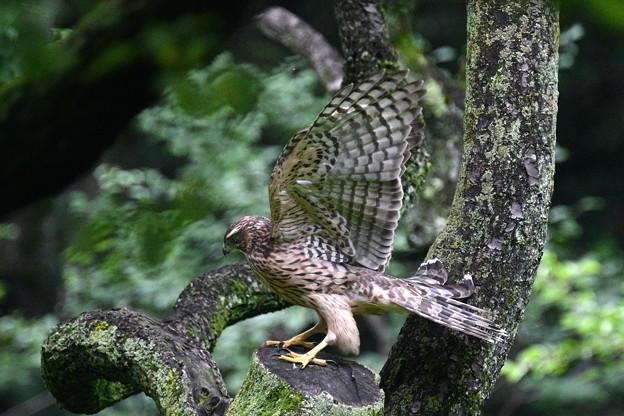 オオタカ幼鳥-入れ替わり-4